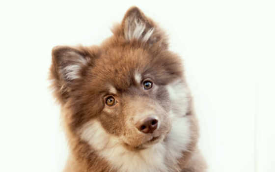 собака, собаки, финский