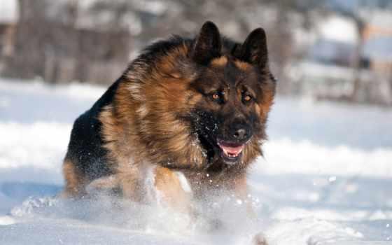 овчарка, немецкая, собака, winter, снег,
