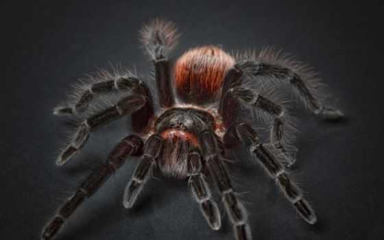 free, tarantula, паук, фото, pixabay, pixel, images, cases,