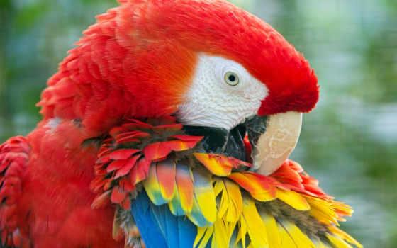 попугай, macaw, птица, перья, яркий, картинка, browse, птицы, zhivotnye,