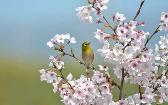 white, глаз, japanese, птица, белоглазка, японская, Сакура,