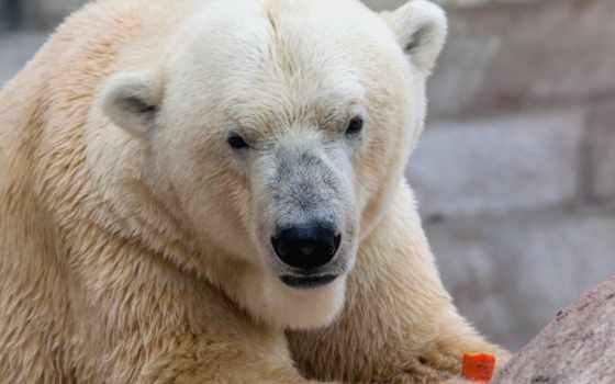 медведь, white, мэри, морковку, природа, морда, polar, медведи, ест, медведя, zhivotnye,
