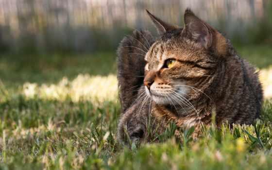 кот, domestic, порода, short