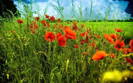 природа, цветы, маки
