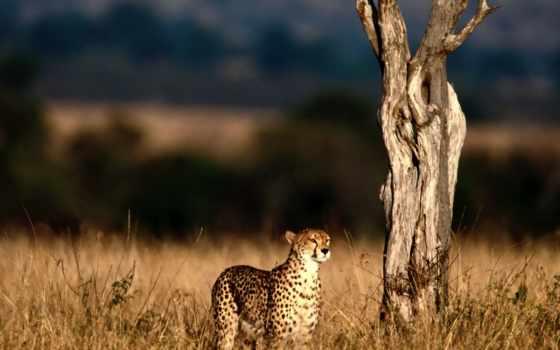 гепард, кот, гепарды, красивых, дерево, совершенно,