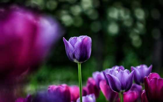 cvety, фиолетовые, тюльпаны, tulips, розовые, flowers, клумба, размытость, white, yellow, макро,