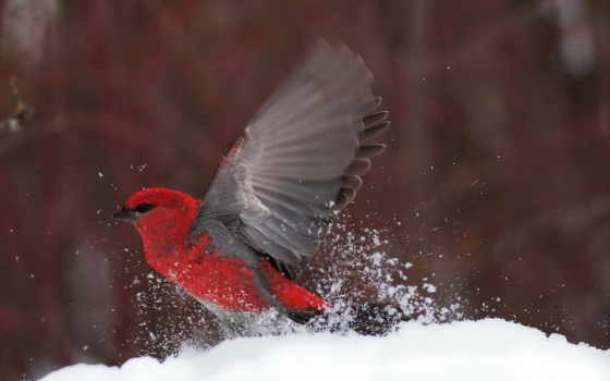 птицы, снегирь, самолёт, new, golf, tecnam, птица, тегом,