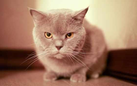 кот, покрывале, глазами, голубыми, розовом, angel, fat, бенгальский, cute,