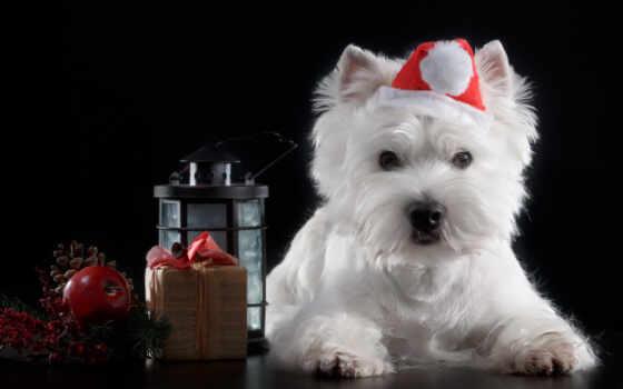 собака, щенок, christmas, шляпа, craciun, black, кейн, white