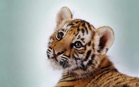 tiger, cub