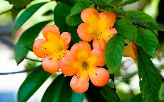 цветы, оранжевые