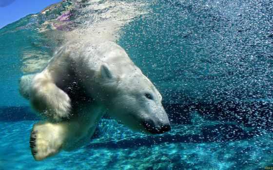 медведь, белый, водой