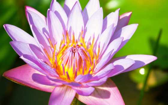 lotus, цветы, lily Фон № 80718 разрешение 2560x1440