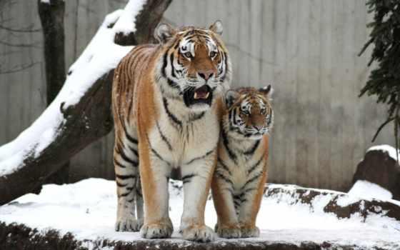 тигр, кот, amur