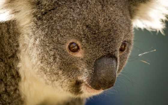 австралия, pussieläin, zhivotnye, eläinten, коала, karhu, мишка, визе, перевод, финский, kuva,