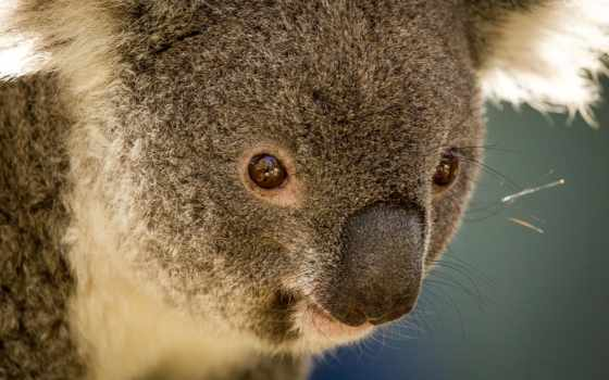 австралия, pussieläin, zhivotnye