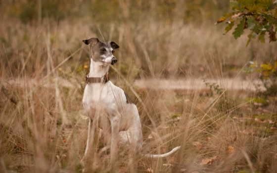 greyhound, собака, цена
