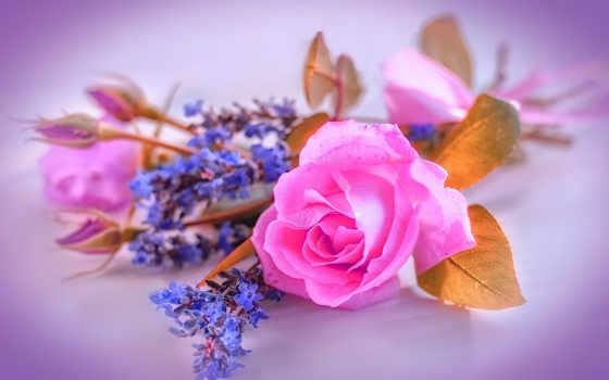 роза, фон, картинка, цветы, garden