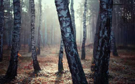 березы, birch