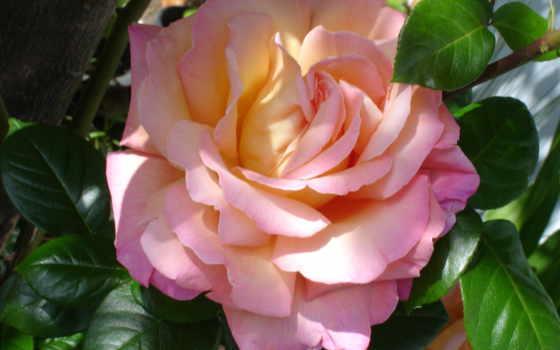 цветы, розы, розовый Фон № 56670 разрешение 3072x2304