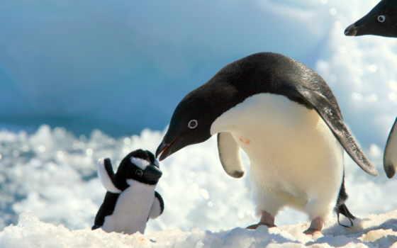 пингвин, качестве, пингвины, снег, высоком,