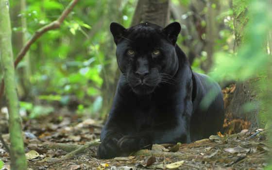 zhivotnye, panther, животных, world, хищных, июнь, хищные,