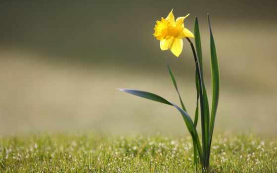 narcissus, нарциссы, psalm, lord, kjv, cvety, цветы, нарциссов,