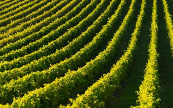 плантация, виноград, one, фото, watermark, campo