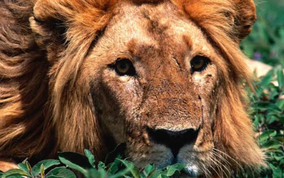 львы, фотографии, тигры, lion, большие, животные, тигром, дек, тигр, ниже,
