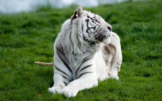 тигры, white, животные