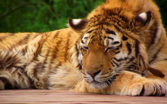 спит, тигр, морда