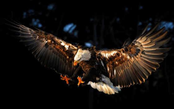 орлан, птица, крылья