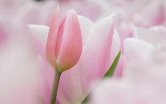 нежные, тюльпаны, cvety, розовые, trick,