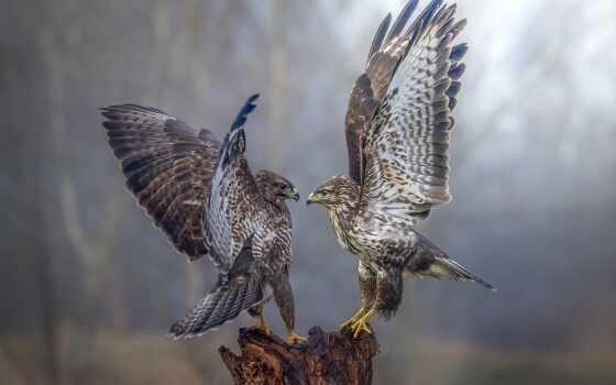 перепелятник, птица, два, друг, сапсан, animal, sit, stump, fast, opposite, хищный