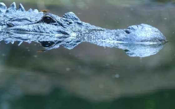 животные, крокодил Фон № 26076 разрешение 1920x1080