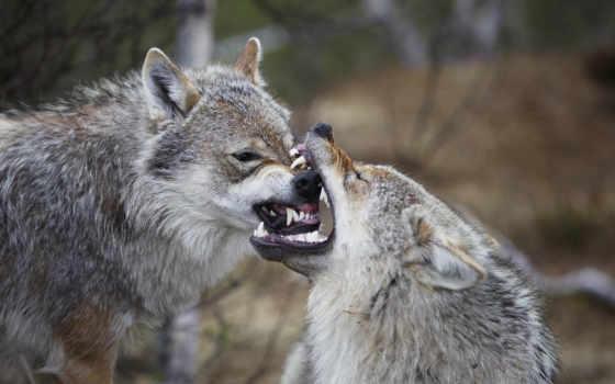 волки, волк, ago