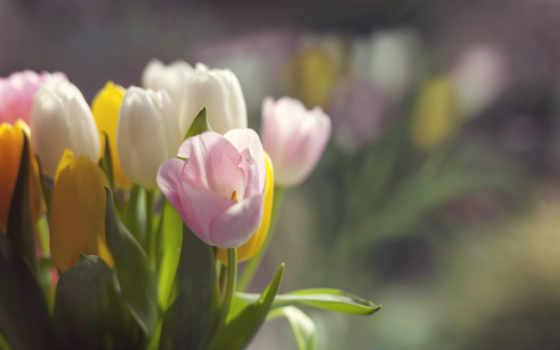 цветы, тюльпаны, нежные