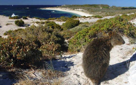 квокка, setonix, brachyurus, остров, комодо, дерево, инструкция, quokka, австралии, композиция,