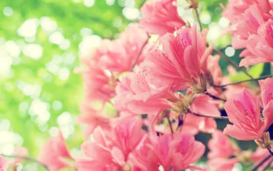 весна, цветы, розовые,