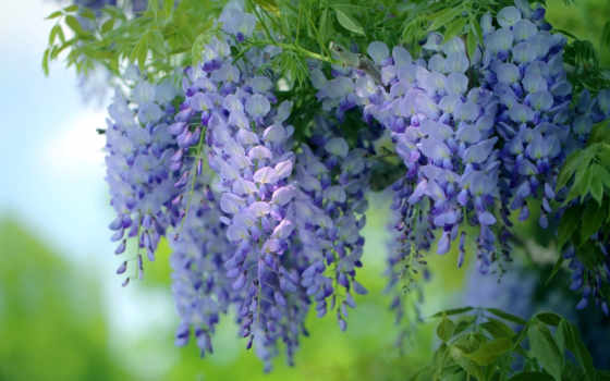 wisteria, цветы, flowers, desktop, весна, free, сиреневый, дерево,