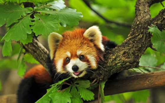 панда, красная, малая, кот, ailurus, fulgens, lat, firefox, огненная,