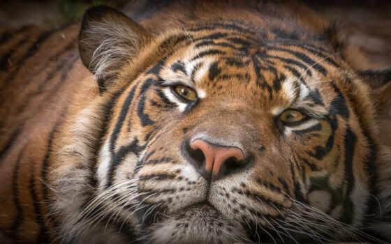 тигр, dovolnyi, морда, глаза, tigris, принцесса, лапа, rajah, ложь, жасмин