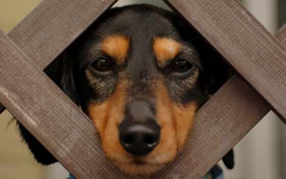 загар, black, coonhound, dachshund, animal, фон, щенок, взгляд, dry, лист