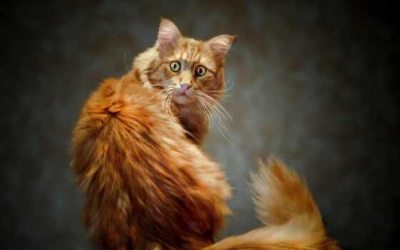 кот рыжий, кошки Фон № 6703 разрешение 1920x1200