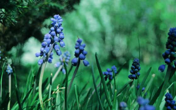 цветы, синие, мускари