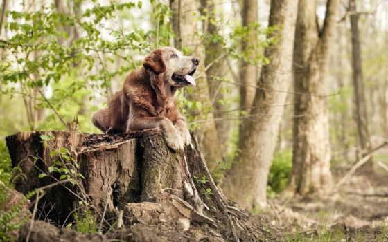 ретривер, собака, les