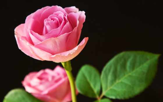 цветы, розы, black