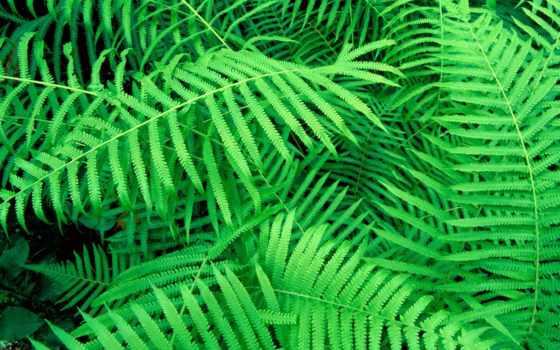 папоротник, листва, растение, зеленые,