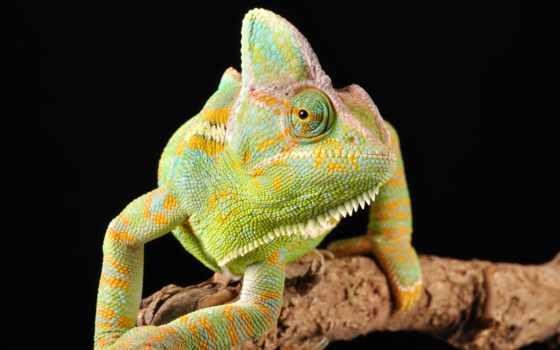 reptile, chameleon, глаз, collector, разные, color, темы, чесночной,