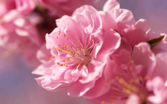 cvety, цветы, высокого, разрешения, Сакура, нежность, бутон, розовый, растение, branch, цветение,